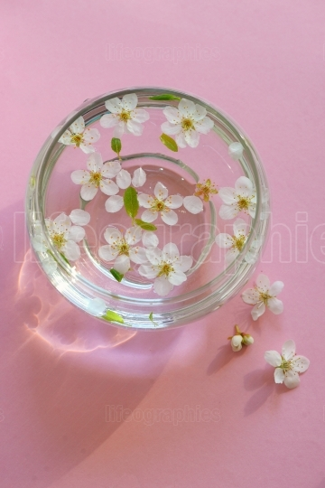 Cherry blossom twig with water bowl