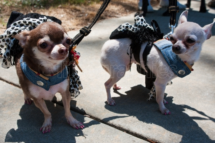 Chihuahuas Wear Identical Costumes At Dog Fashion Show