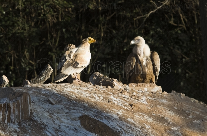 Cinereous and egyptian Vulture