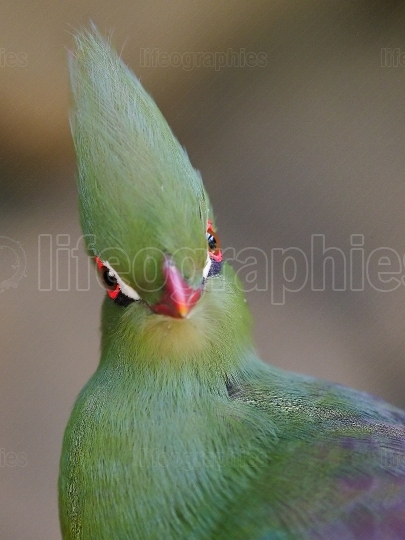 Close head shot of a Guinea turaco, scientific name Tauraco pers