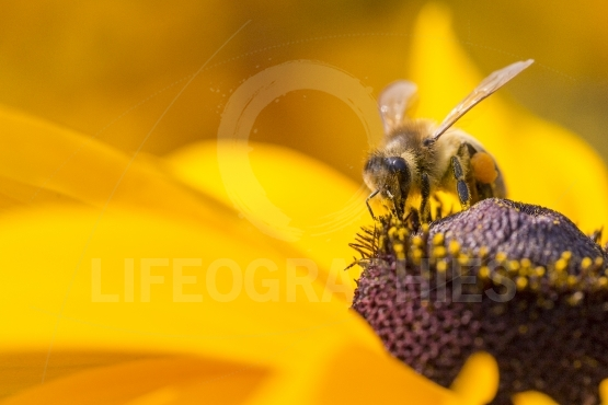 Close up photo of a western honey bee gathering nectar and sprea