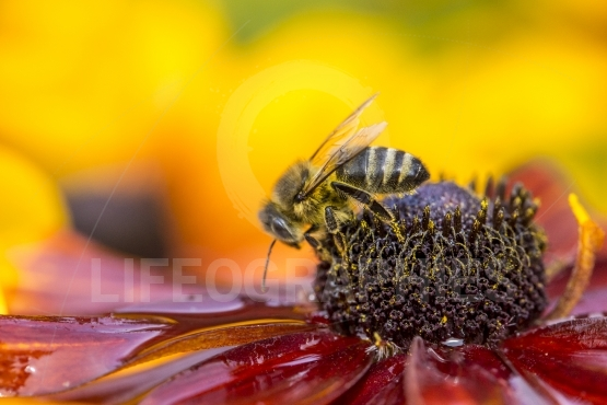 Close up photo of a western honey bee gathering nectar and spreading pollen