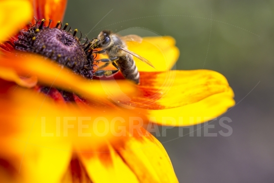 Close up photo of a western honey bee gathering nectar and spreading pollen on a young autumn sun coneflower (rudbeckia nitida)