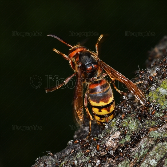 Close up view of an european hornet (vespa crabro) attacked by g