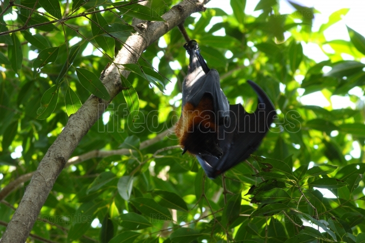 Closeup of Hanging flying fox, a big bat