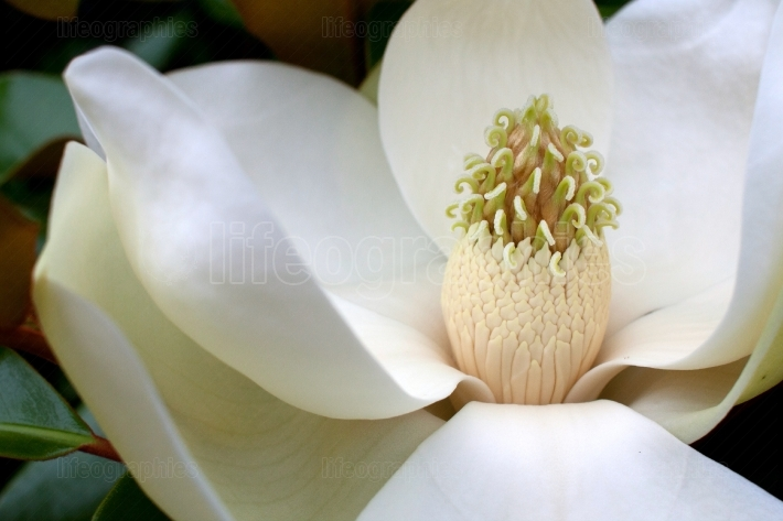Closeup Of Magnolia Tree Flower