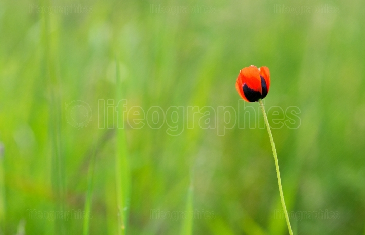 Closeup of single poppy flower in field of grass. isolated.