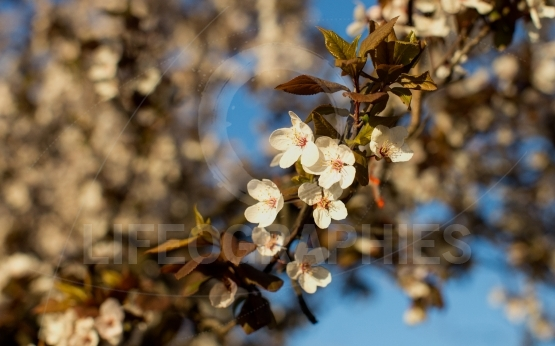 Close-up of spring flowers in tree