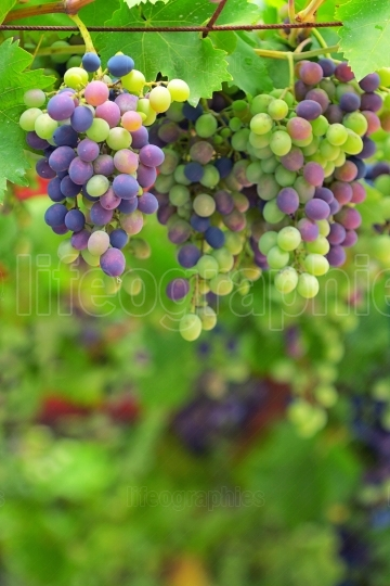 Colorful Unripe grapes and vine leaves