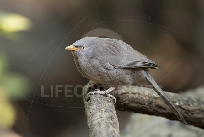 Common Babbler (Turdoides caudatus)