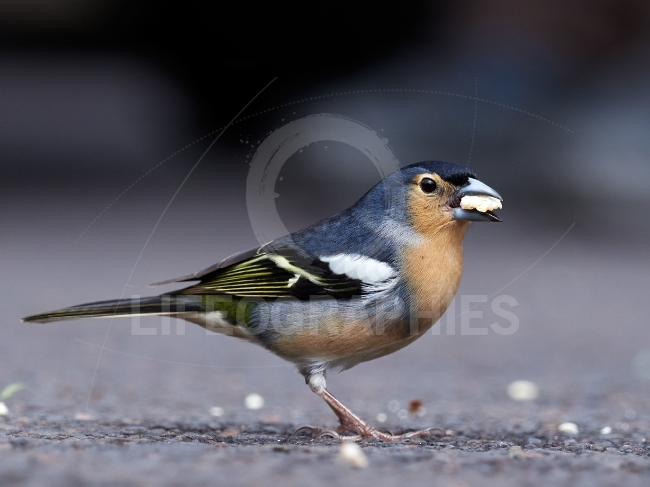Common chaffinch bird on stone (fringilla coelebs)