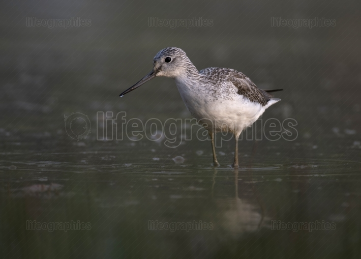 Common Green Shank in lake