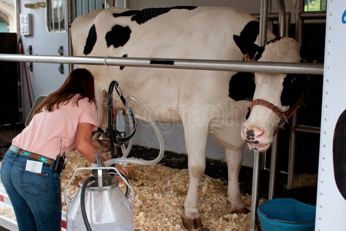 Cow Gets Hooked Up To Milking Machine At Farmers Market