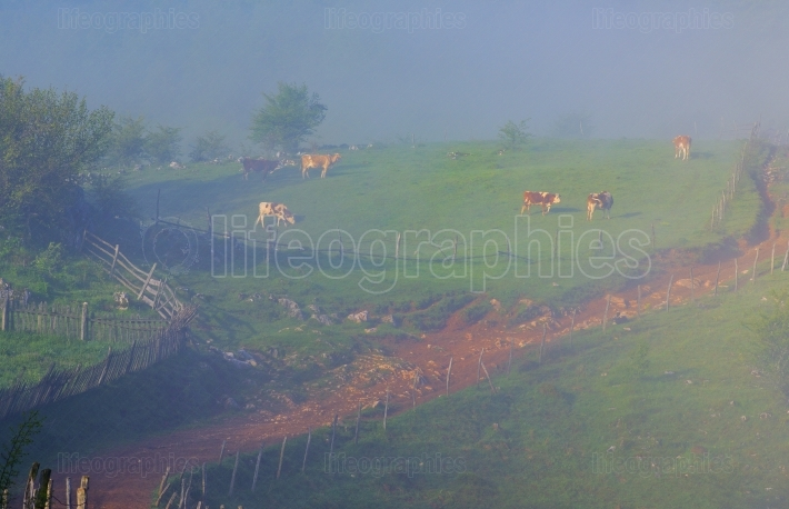 Cows grazing at mountain