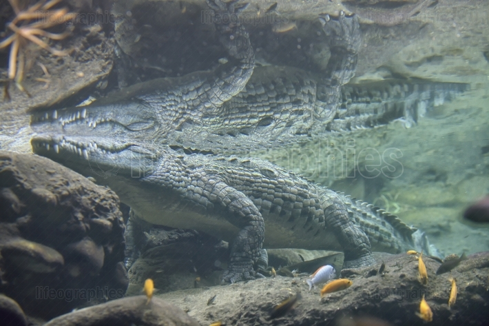 Crocodile swimming in water