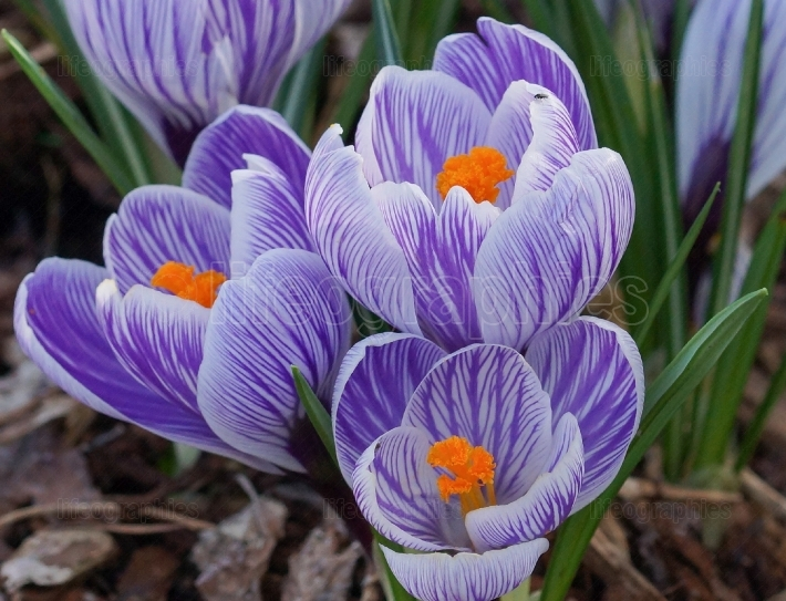 Crocus, flowers of the spring