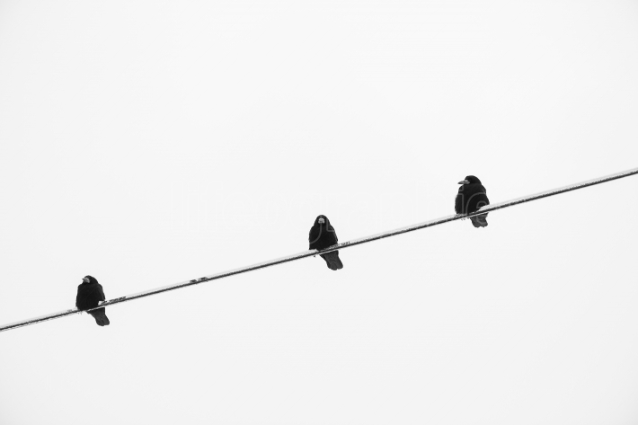 Crow on an electric wire, black and white