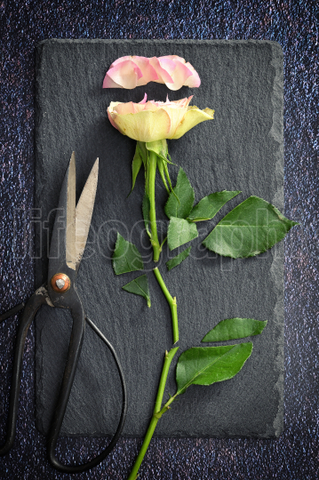 Cut Pink Rose and Scissors
