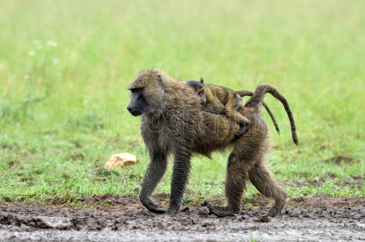 Cute baby baboon and its mother in african natural park
