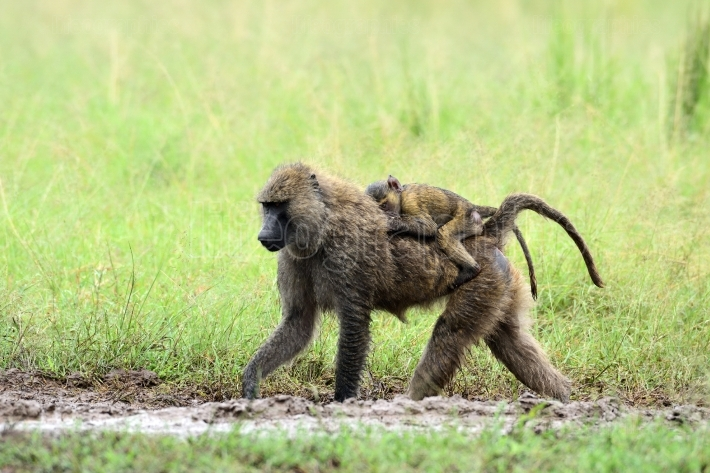 Cute baby baboon on its mother's back in african natural park