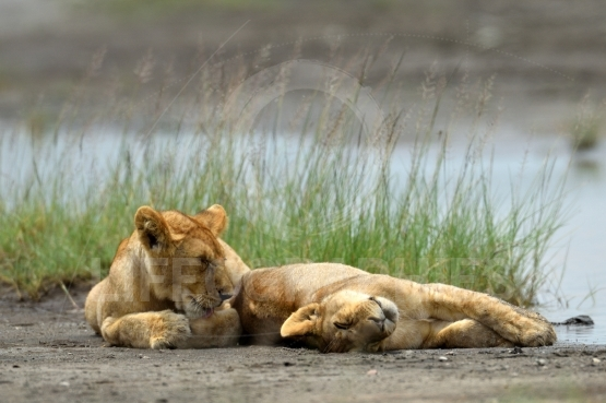 Cute cubs lions resting in African natural park