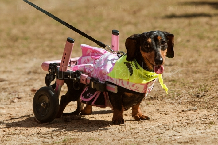 Dachshund With Paralyzed Hind Legs Wears Attached Wheels At Even