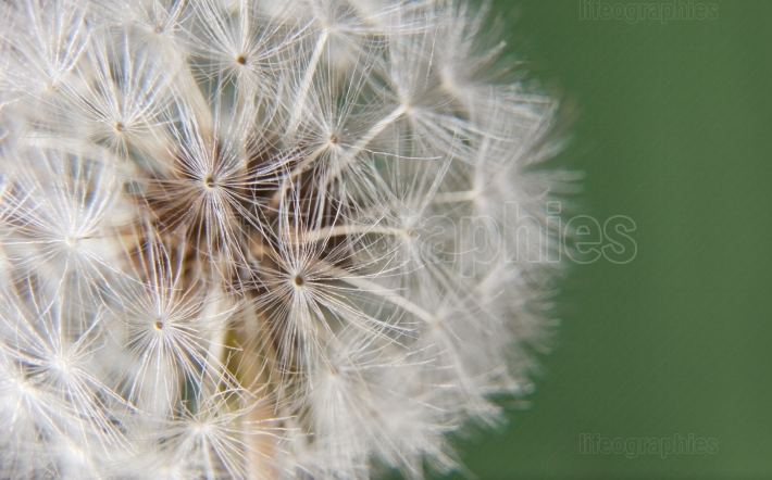 Dandelion head over green