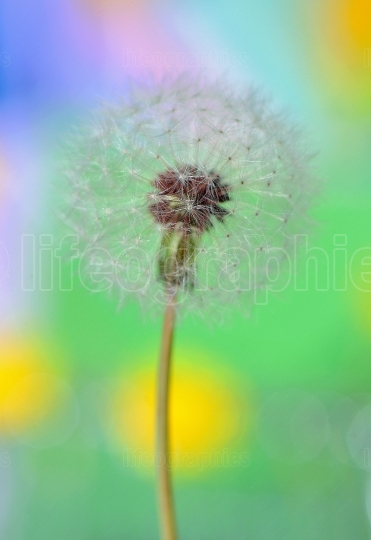 Dandelion on colorful background