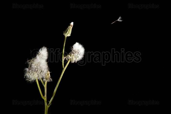 Dandelion seed flying