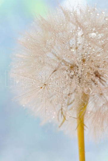 Dandelion seeds   fluffy blowball