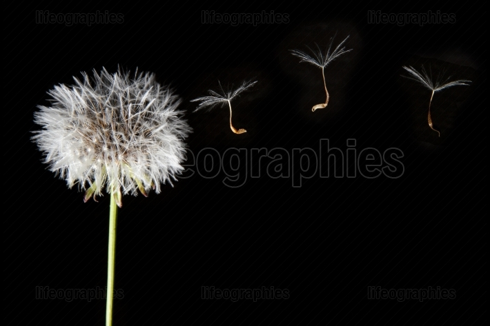 Dandelion seeds flying