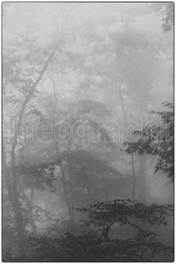Deep forest covered by fog creating a mystical landscape