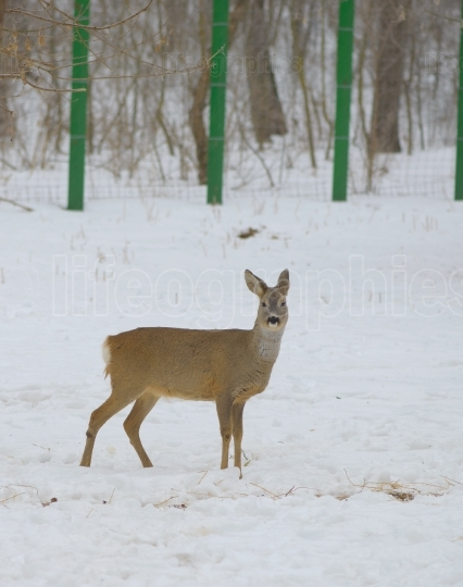 Deer in Snowy Field, at zoo
