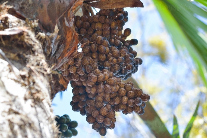 Delicious fresh dates growing on a palm tree in gran canaria, spain