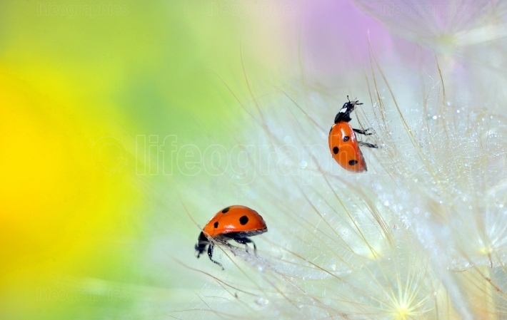 Details of ladybugs on dandelion