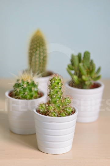 Different  cactus in pots