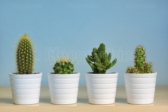 Different types of  cactus in pots