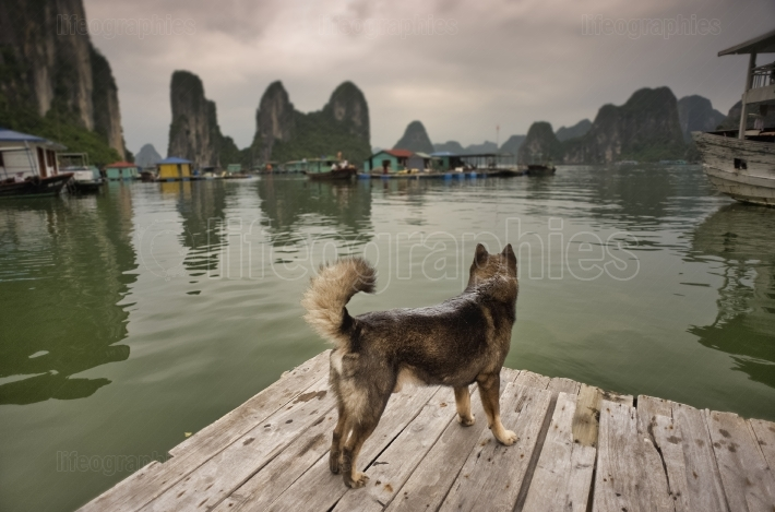 Dog against Halong Bay, Vietnam