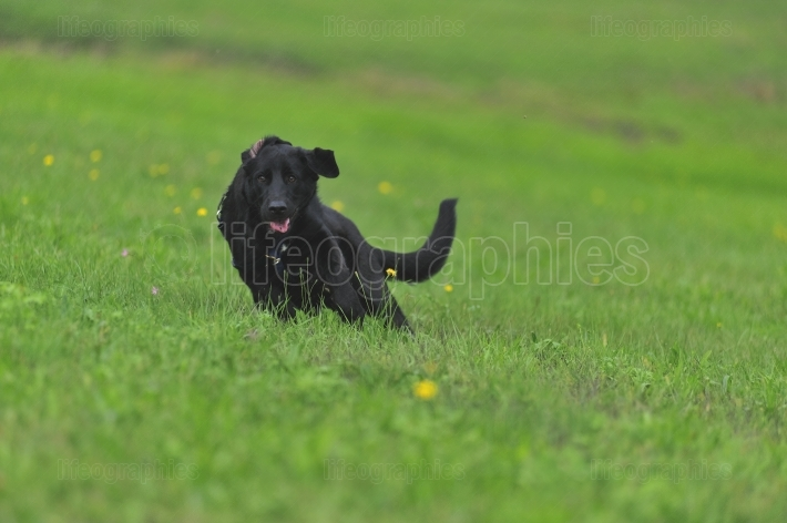 Dog running  in a green grass