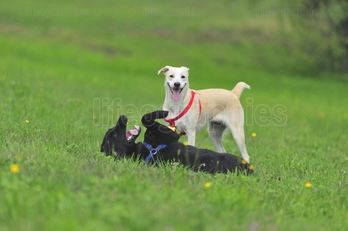 Dogs playing in a green grass