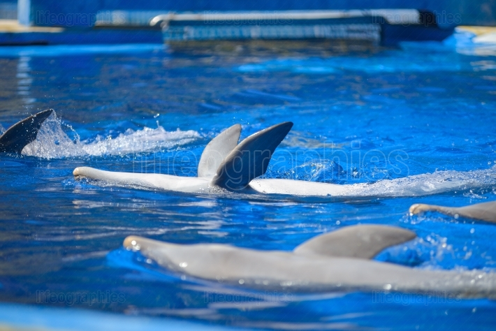 Dolphins show at animal park in Gran Canaria, Spain