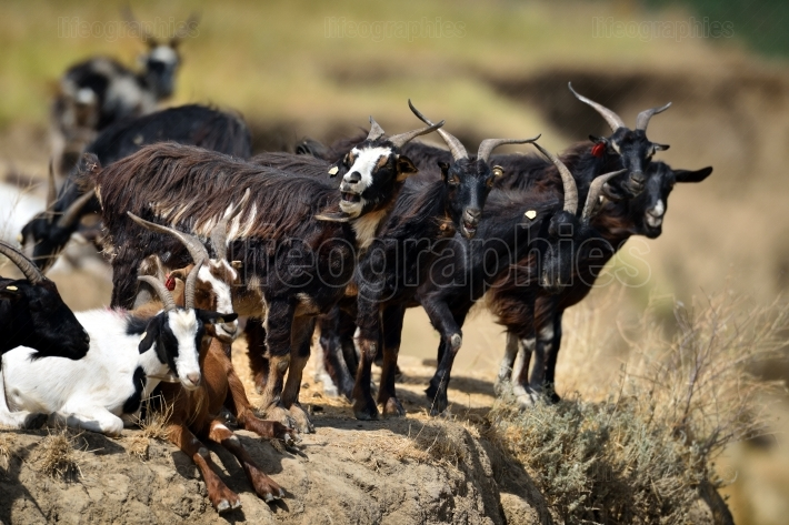 Domestic goat on field in spring