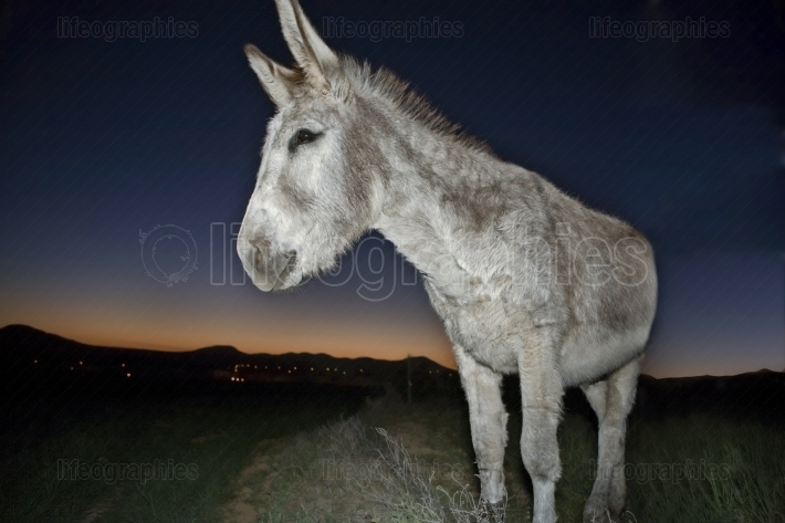 Donkey portrait at sunset
