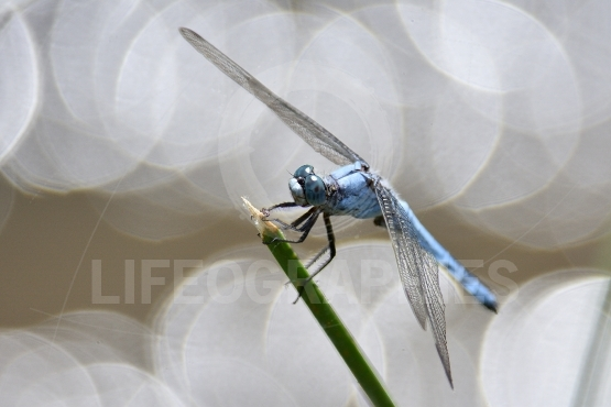 Dragonfly in natural habitat in summer