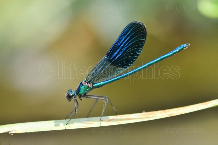 Dragonfly outdoor in summer (coleopteres splendens)