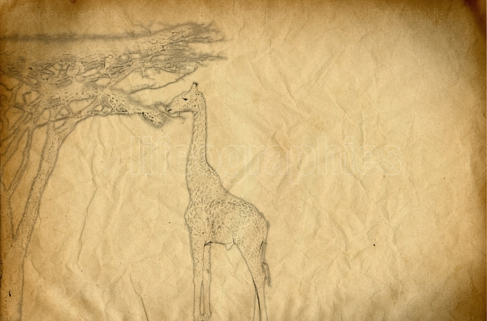 Drawing of a giraffe eating spruce leaves