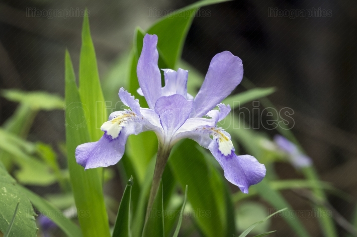 Dwarf crested iris in the woods