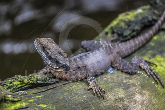 Eastern Water Dragon, Queensland (Australia)