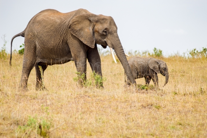 Elephant and her cub in the savannah of Maasai Mara Park in Keny