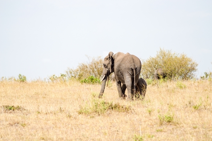 Elephant and his cub in the savanna of the mara a park in northw